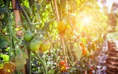 На какво разстояние се садят домати в оранжерия?